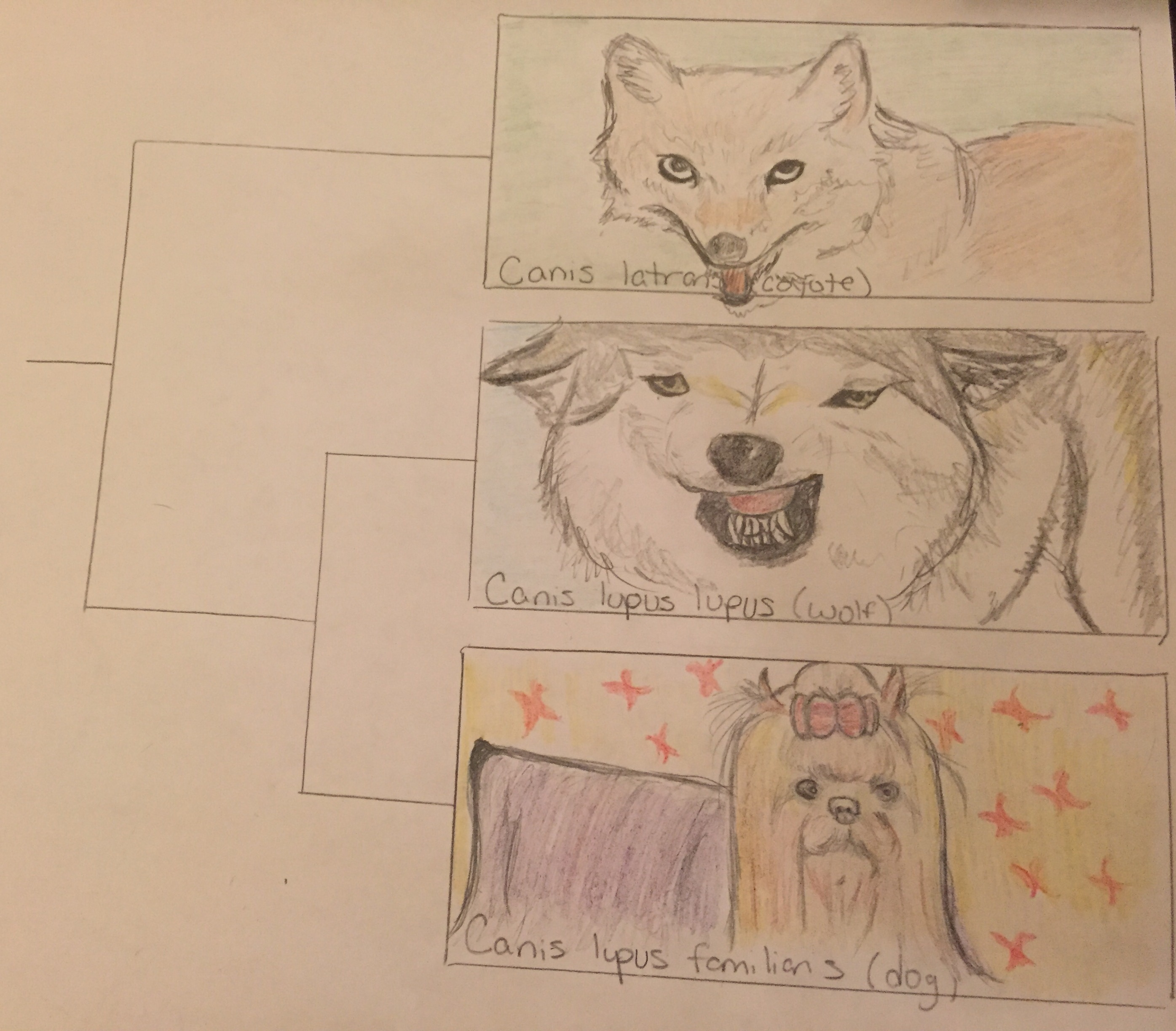 This is a graphic representation of the phylogenetic tree showing relatedness between dogs and wolves as it compares to outgroup (less related) species which branches off to form new species earlier on in history. The images show structural similarity and differences between the three species as well.