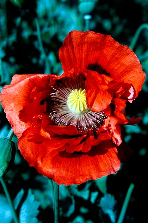A history of poppies war and death anthropological perspectives a history of poppies war and death mightylinksfo