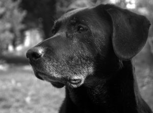 Old black lab whose fur is beginning to grey
