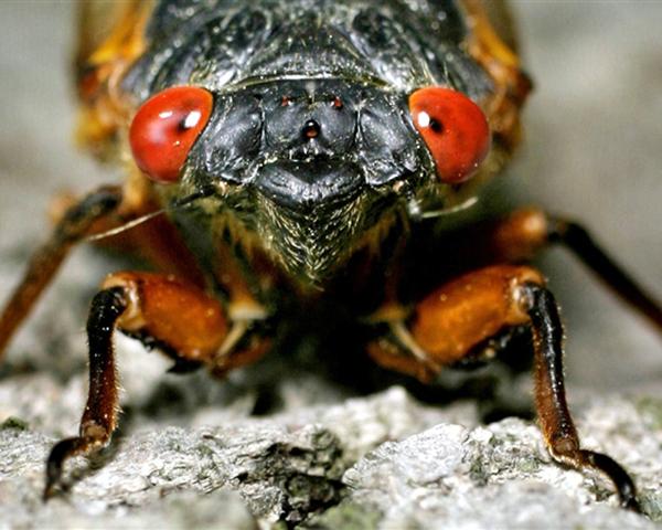 Close-up image of a cicada