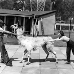 Vintage B&W photo of two people pushing/pulling a stubborn llama