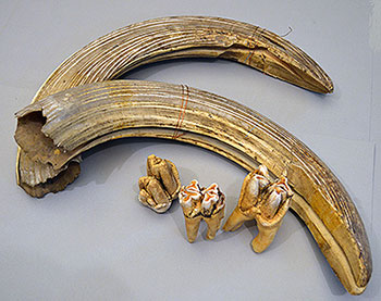 Unidentified Animal Tusks and Teeth