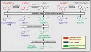 monoamine synthesis