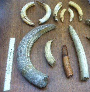 Some of the tusks in the Thomas Ellis Reeve collection