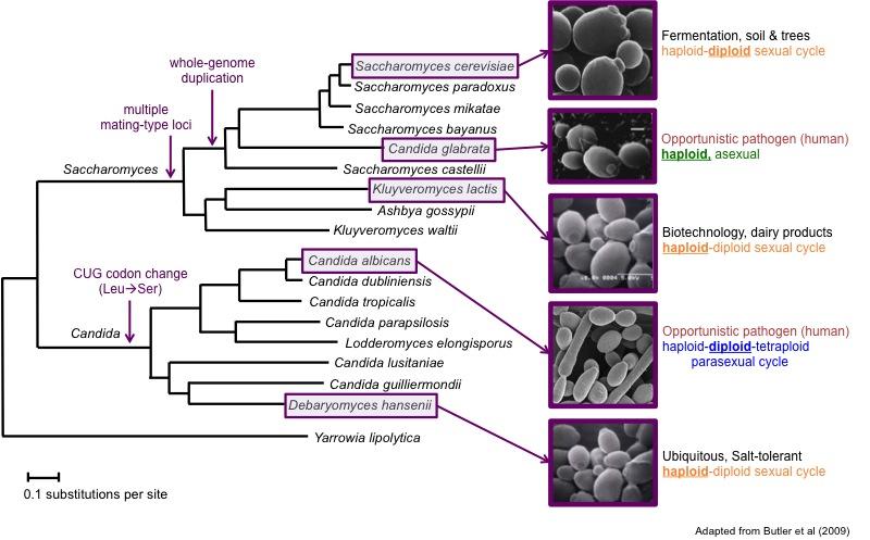 hemiascomycete phylogeny